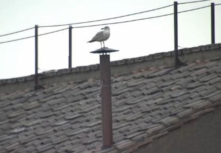 <i>Conclave : une mouette (ou plutôt un goéland) s'incruste sur la cheminée de la chapelle Sixtine</i>